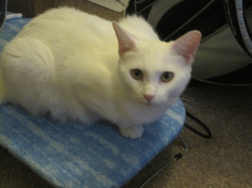 Xena, a white cat, sits on an ironing board.
