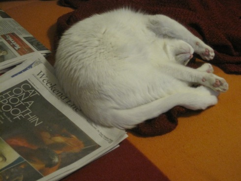 Xena, a white cat, lies in a curled fashion next to some newspaper.